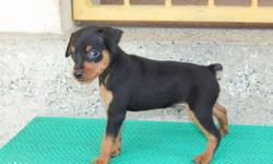 min pin puppies available . puppies are certified and