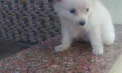 Miniature female puppy 2 month sell.in shirdi