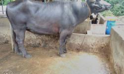 murrah buffalo Classifieds - Buy & Sell murrah buffalo