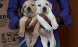 my best qulity lab puppy 23 days i want to sell