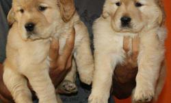 Hi New Retriever Male And Female Puppies Are Available