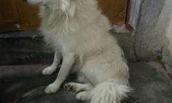 German Spitz male age 9 month old very playful &