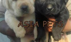 Newly Bone LABRADOR PUPPIES FOR SALE on Asiapets Pure