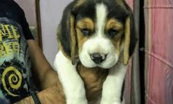 Short Coated White And Brown Puppy Beagle male and