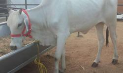 Ongole pregnant cows heifers available