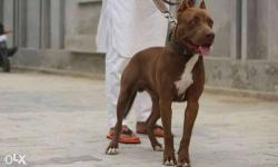 american pitbull for sale in Punjab Classifieds & Buy and