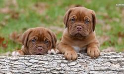Call Me Now, Original Approved French Mastiff Puppies