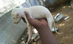 INDIAN Breed Chippiparai White Pure Puppy & Active ,