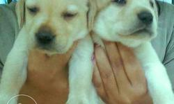 Labrador Puppy For Sale In Kottayam Kerala Classifieds Buy And Sell Indialisted Com