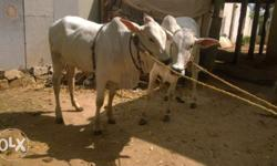 Original ongole breed cow both cost 60,000