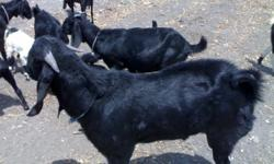 BEST OSMANABADI GOATS FOR YOUR FARM This breed is