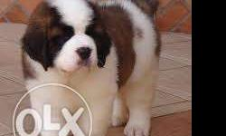 Saint Bernard Very Active puppy with Certificate Call