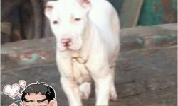 Pakistani Bully puppy  for Sale in Faridabad, Haryana