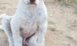 Pakistani bully kutta male female pup available top