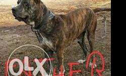 pitbull dog for sale in Punjab Classifieds & Buy and Sell in