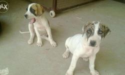 doberman puppies Classifieds - Buy & Sell doberman puppies