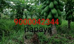 papaya(boppayi) 20/- for 1 plabt