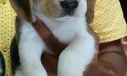 it is a female dog , 2 months old cute peagle dog