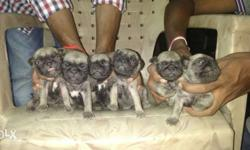 peasant 20 days.. show quality pug puppy