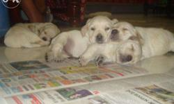 Pedigree line labrador pupps available