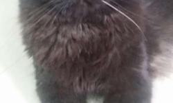 1.5 year old semi punch face black persian cat. Very