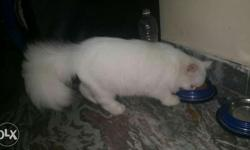 persian cat male white colour semi punch approx 10