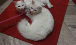 persian cat male & female for sale urjent going abroad