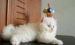 Pure bred Persian Cats and Kittens available for