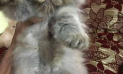 Very cute Persian kittens punch face each 9,999 self