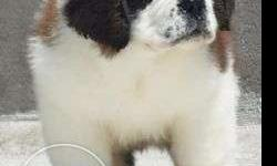 =pet kennel=FEMALE Saint Bernard PUPPY for sale puppies