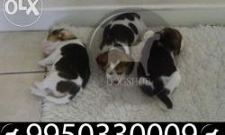 DOGSHUB Truley pure Beagle Pups for at New in jaipur