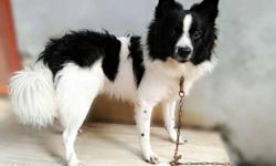 Pomarenian breed, 7 month age