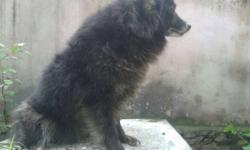 pomeranian female 4 sale Last delivery 4 puppies 3year