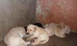 Pomeranian, Rajapalayam Puppies Sale Rs 2000 and 4500