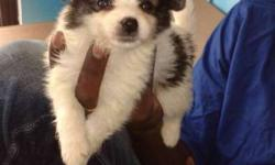 Pomeranian puppies available.. Both male and female..