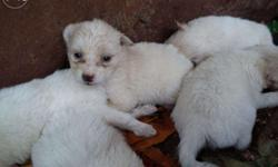 Pomeranian puppies (White) for sale,1 month