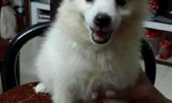 Pomeranian Puppy For Sale In Kerala Classifieds Buy And Sell In