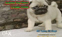 Imported quality pug puppies available Quality grantee