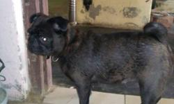pug female pragnet sale becose space problem 100pure z