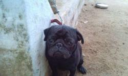 Pug for matting black (colour ) after birth u give me