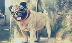 Pug male 2.5 years to 3 years old available for sale