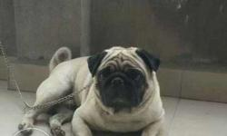 pug male available for stud crosing