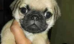 Fawn Pug Puppies with Dark black muzzle with wrinkled
