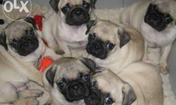Pugs Are A Wonderful Breed Of Dog, However They�re Not