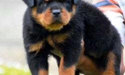 puppies with KCI Rottweiler papers and micro