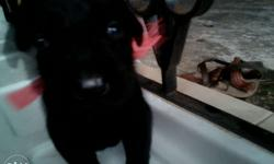 Pure breed black labour dog.Heavy bone,heavy breed,
