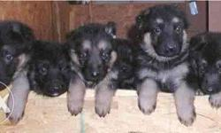 pure breed German shepherd male Nd Female