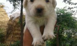 Pure breed champion bloodline lab puppies both male and