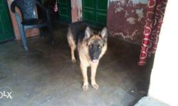 pure german shepherd berad heavy born punch face and