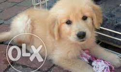 pure golden retriever female for sale need of serious